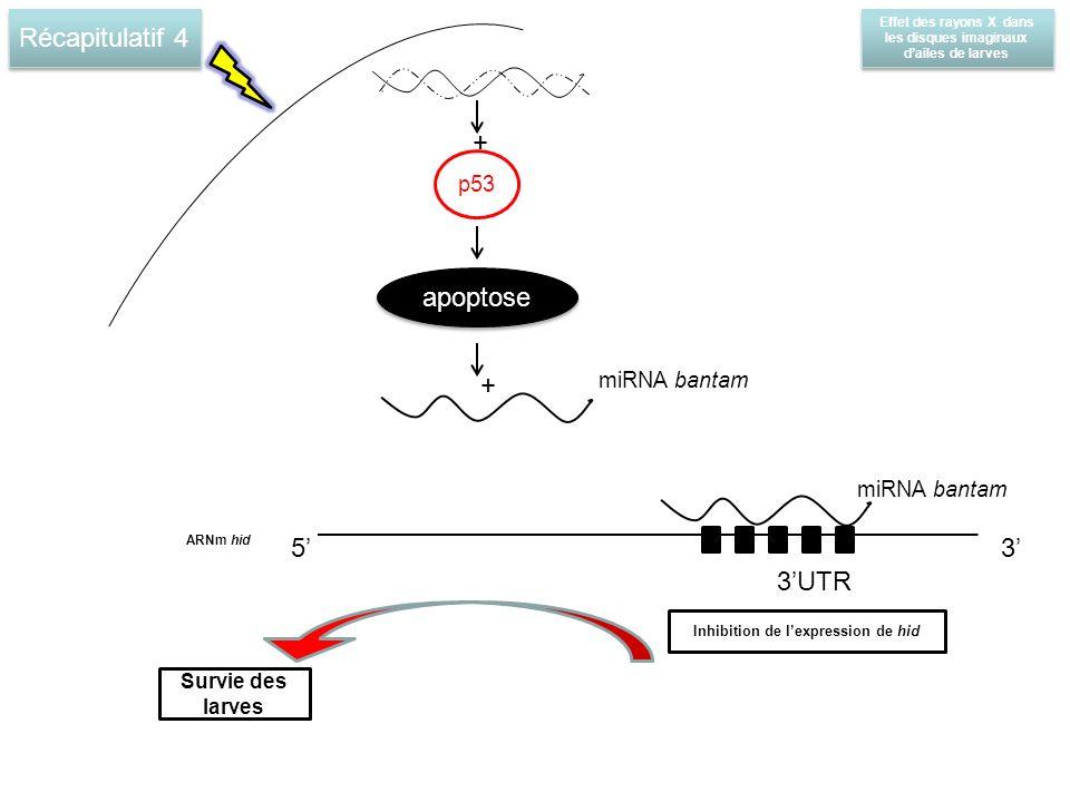 Récapitulatif 4 + apoptose + 5' 3' 3'UTR p53 miRNA bantam miRNA bantam