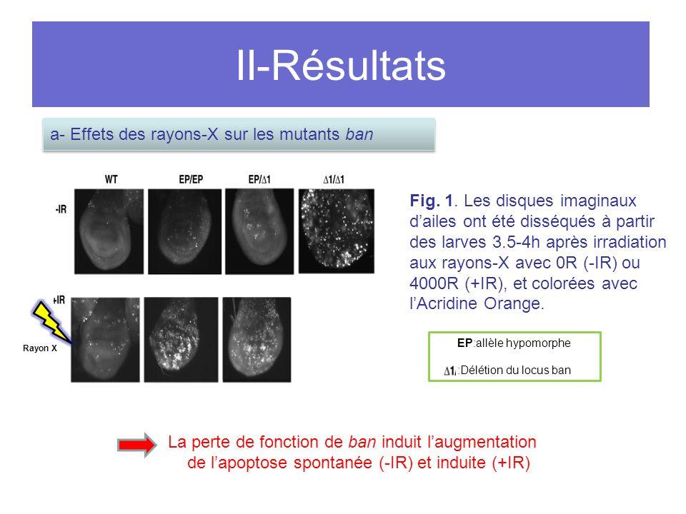 II-Résultats a- Effets des rayons-X sur les mutants ban