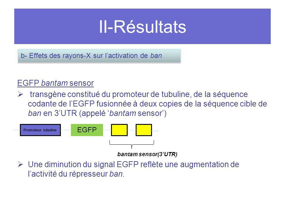II-Résultats EGFP bantam sensor