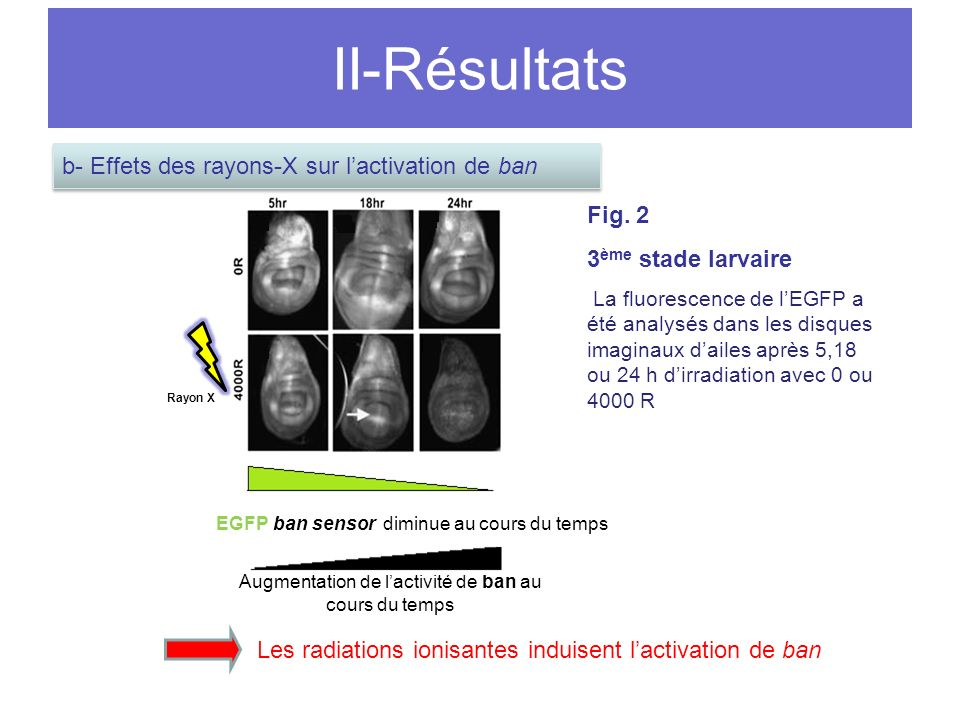 II-Résultats b- Effets des rayons-X sur l'activation de ban Fig. 2