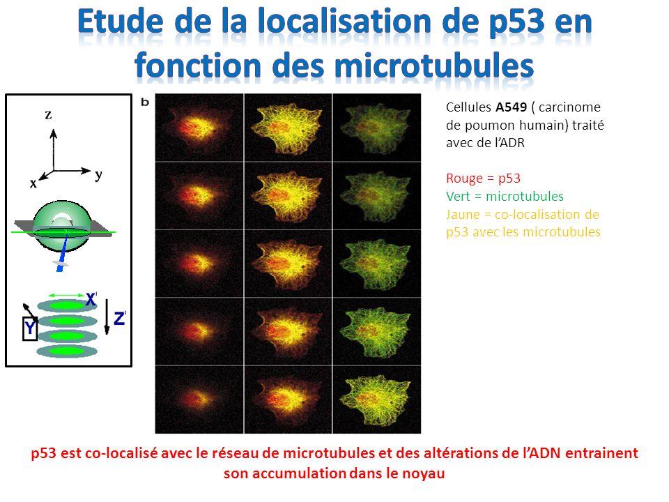 Etude de la localisation de p53 en fonction des microtubules
