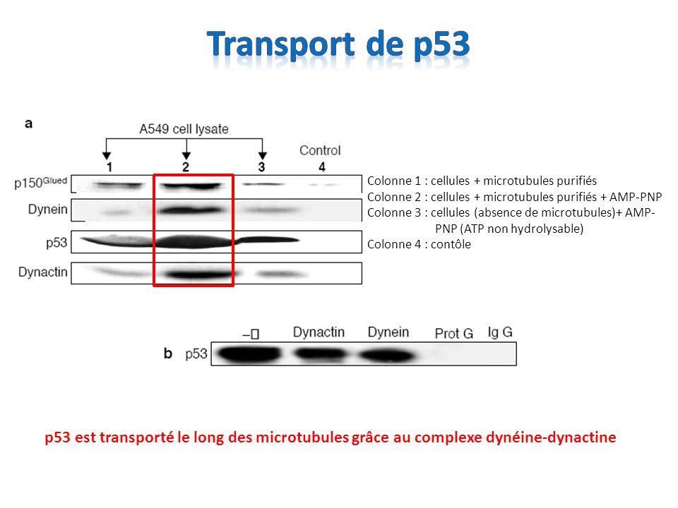 Transport de p53 Colonne 1 : cellules + microtubules purifiés Colonne 2 : cellules + microtubules purifiés + AMP-PNP.