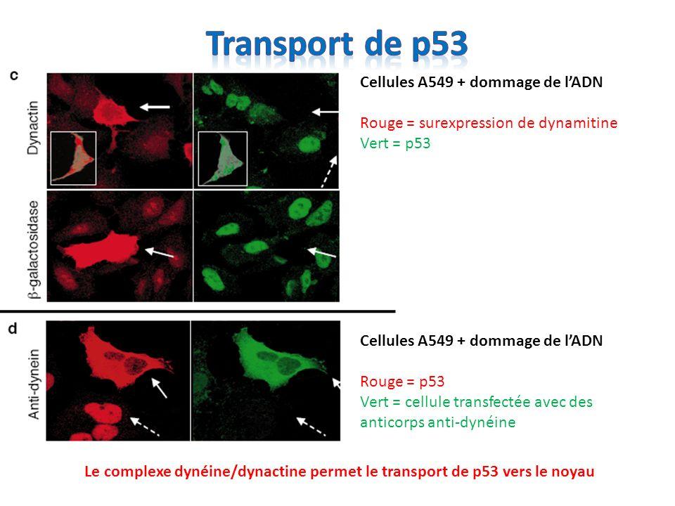 Le complexe dynéine/dynactine permet le transport de p53 vers le noyau