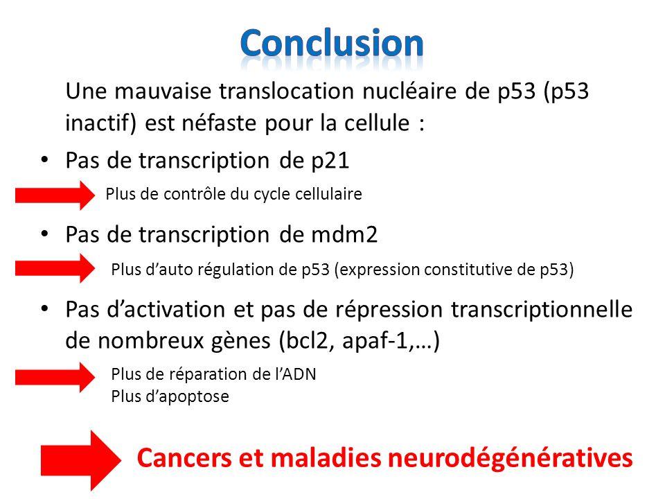 Conclusion Une mauvaise translocation nucléaire de p53 (p53 inactif) est néfaste pour la cellule : Pas de transcription de p21.