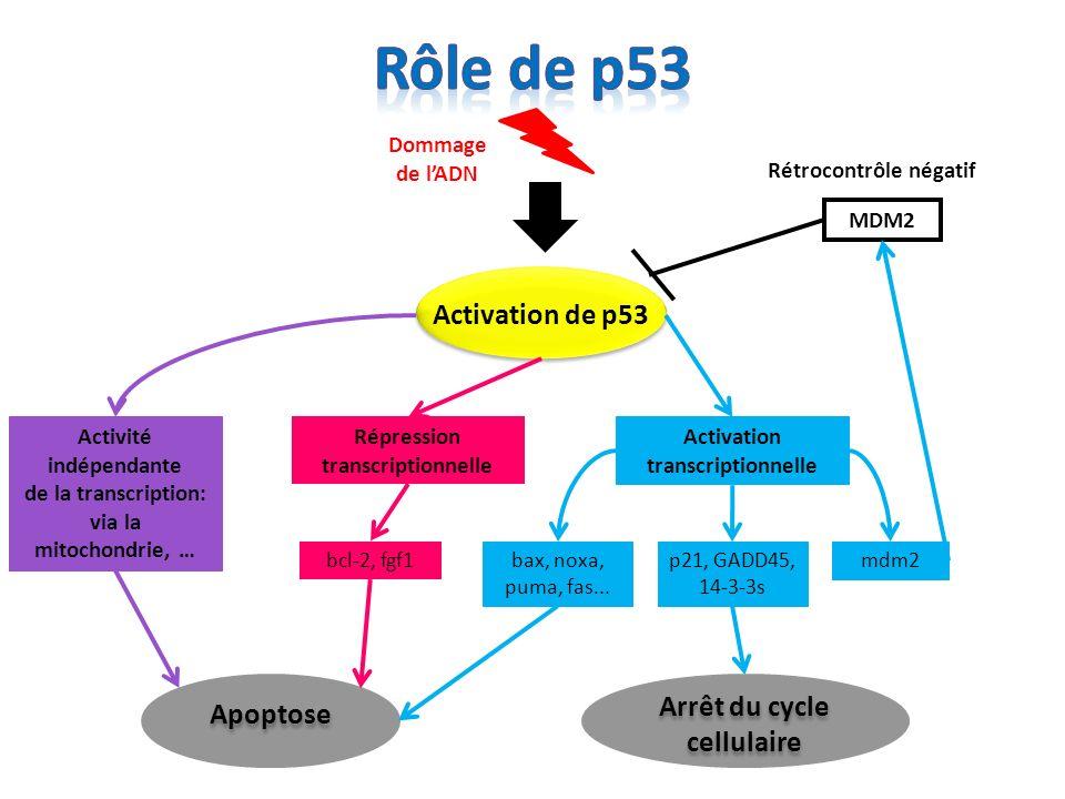 Activité indépendante Arrêt du cycle cellulaire