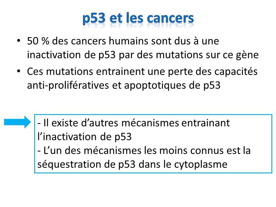 p53 et les cancers 50 % des cancers humains sont dus à une inactivation de p53 par des mutations sur ce gène.
