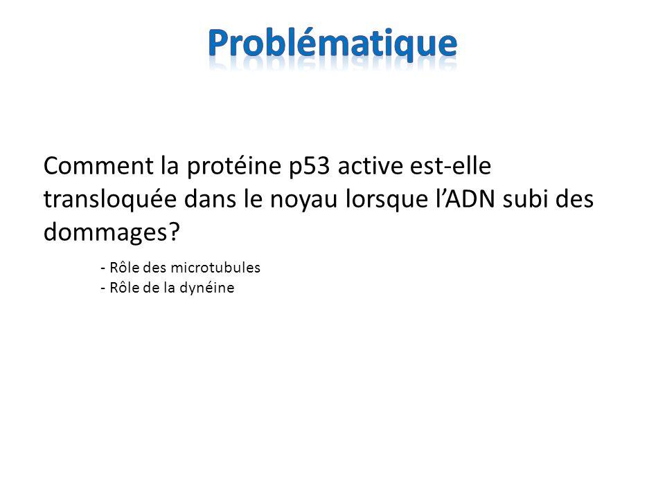 Problématique Comment la protéine p53 active est-elle transloquée dans le noyau lorsque l'ADN subi des dommages