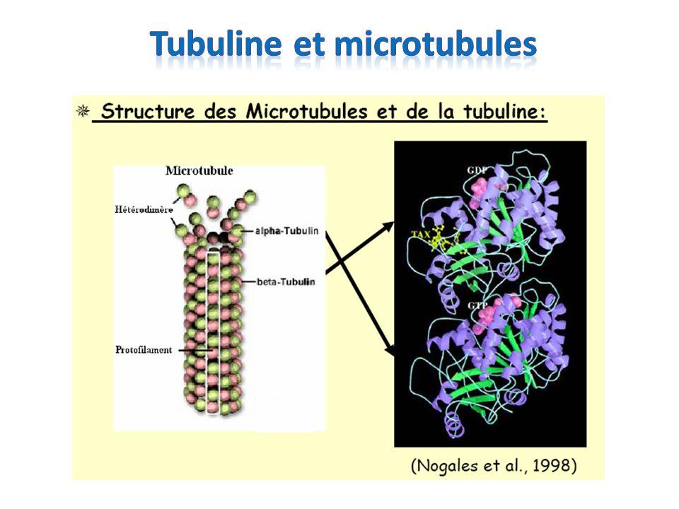 Tubuline et microtubules
