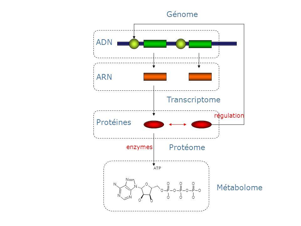 Génome ADN ARN Transcriptome Protéines Protéome Métabolome régulation