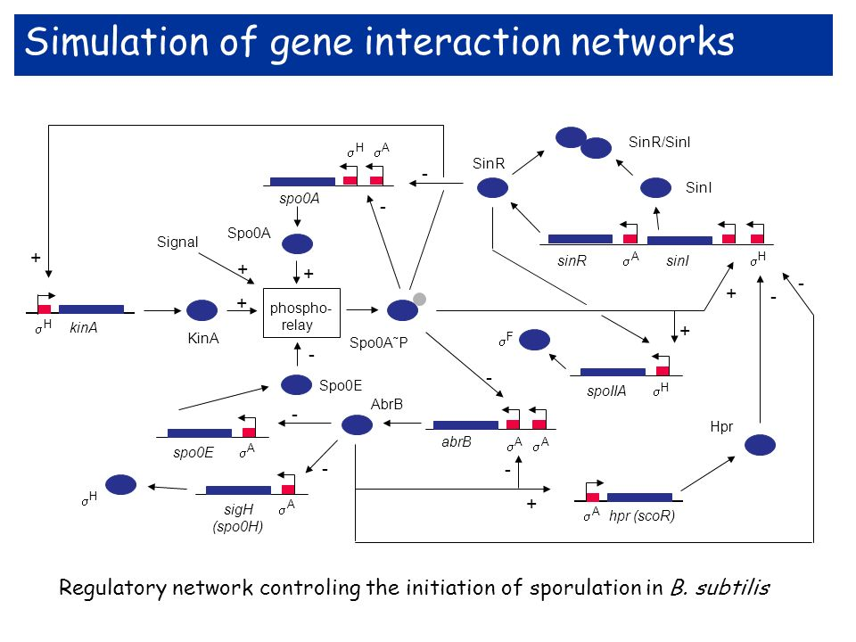 Simulation of gene interaction networks
