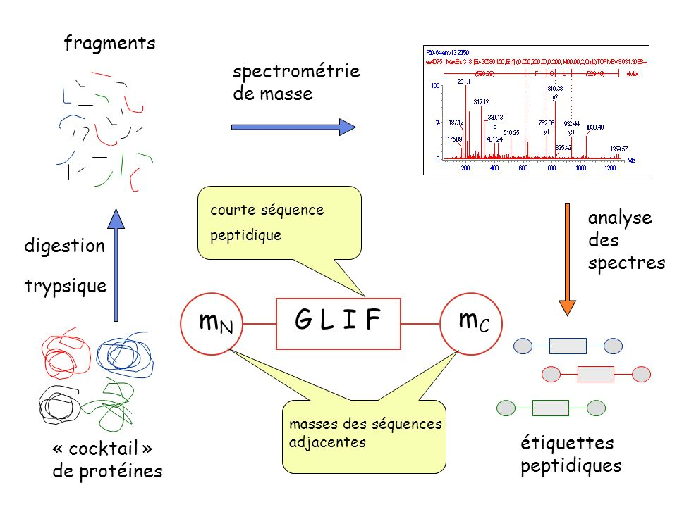 G L I F mN mC fragments spectrométrie de masse analyse des spectres