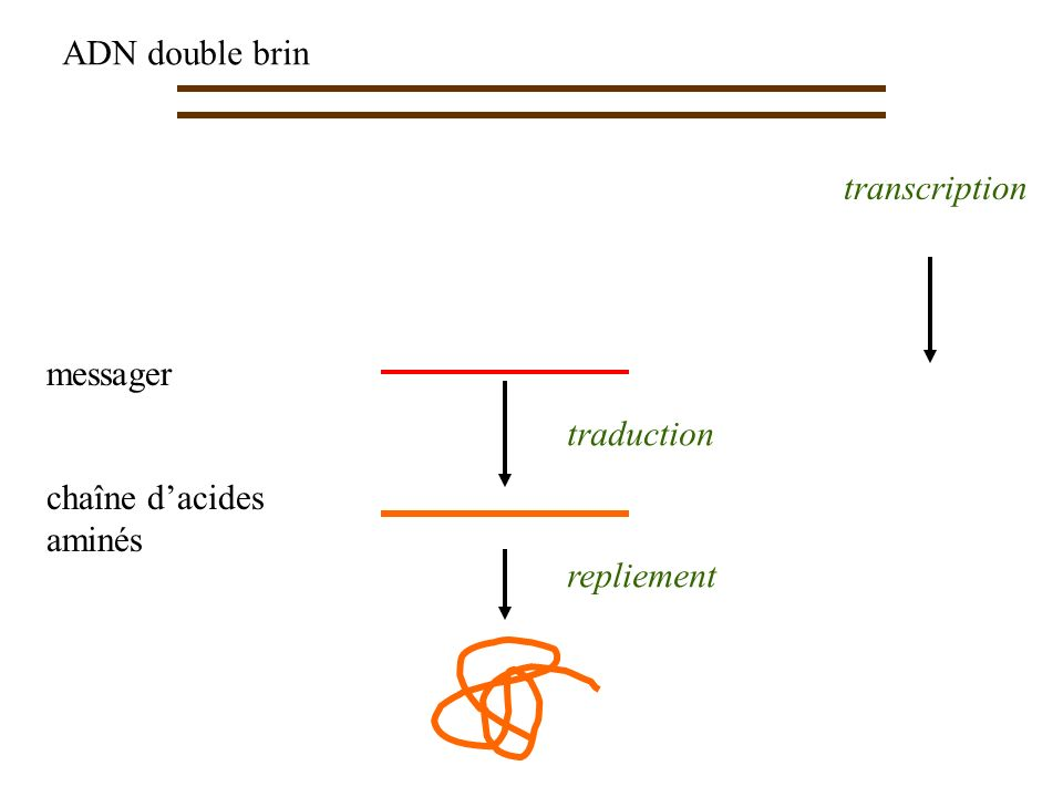 ADN double brin transcription messager chaîne d'acides aminés traduction repliement