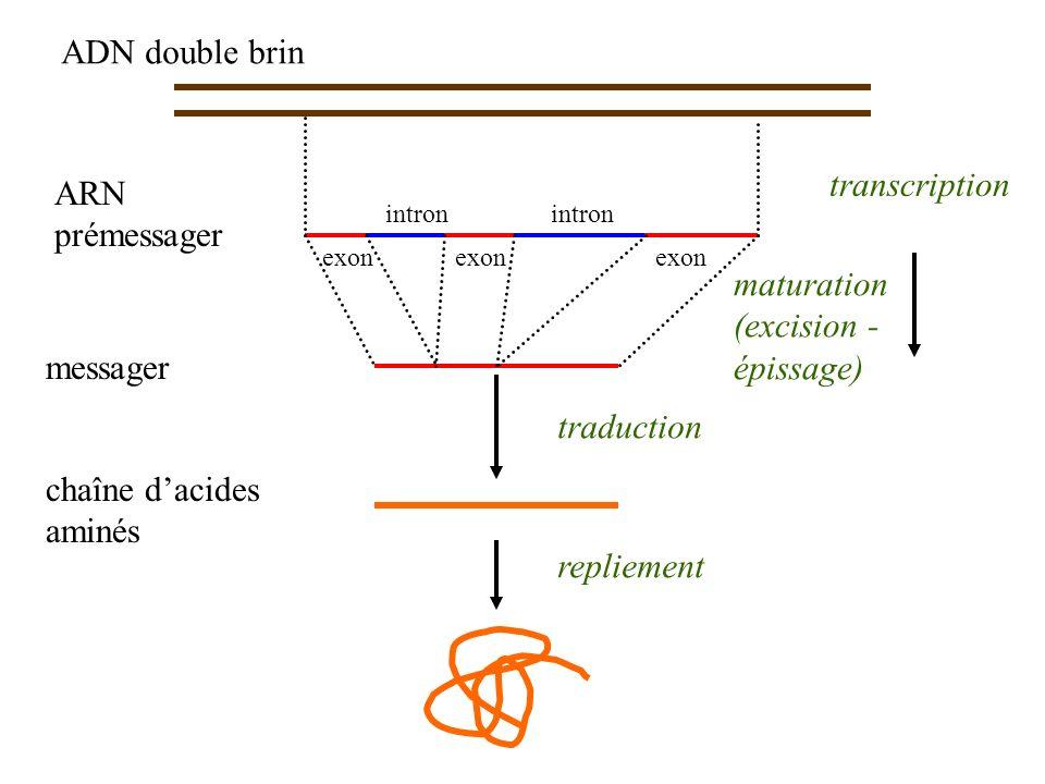 chaîne d'acides aminés traduction
