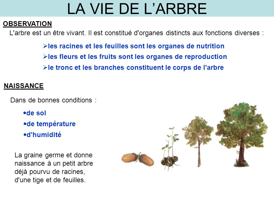 la vie de l arbre observation ppt video online t l charger. Black Bedroom Furniture Sets. Home Design Ideas