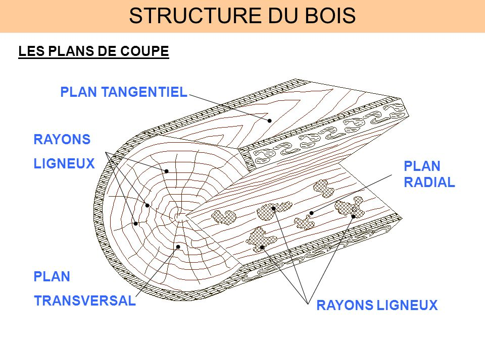 Structure du bois tude de la coupe transversale ecorce for Les plans de lowe
