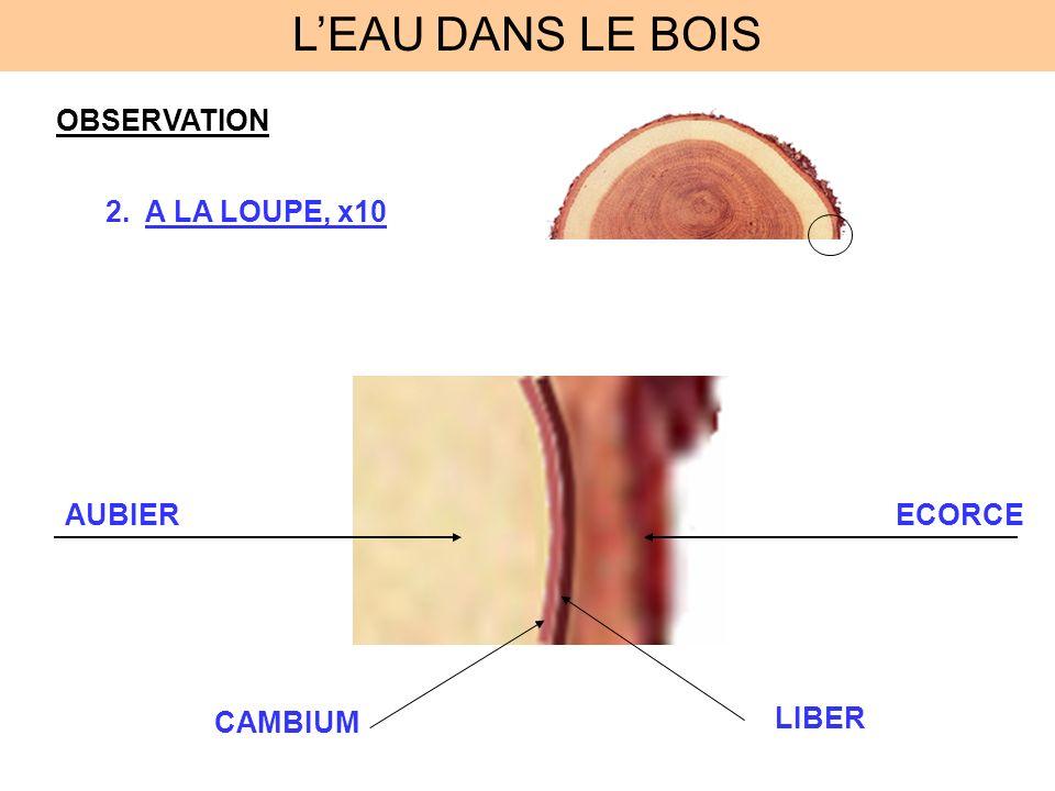 L'EAU DANS LE BOIS OBSERVATION A LA LOUPE, x10 AUBIER ECORCE CAMBIUM