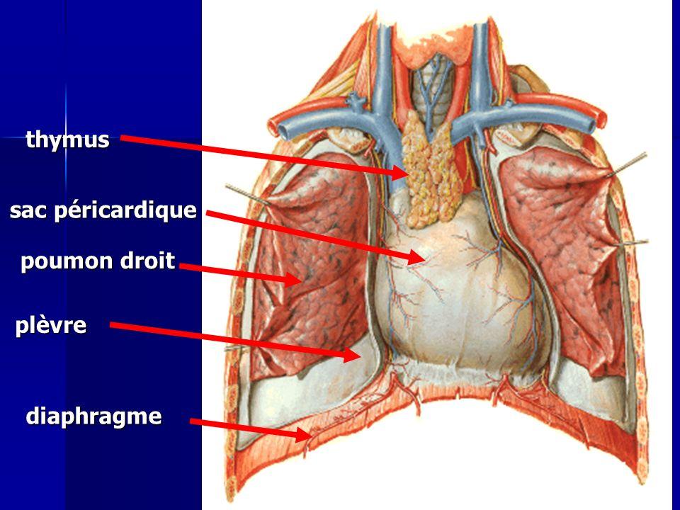 thymus sac péricardique poumon droit plèvre diaphragme Cours IFSI 2003