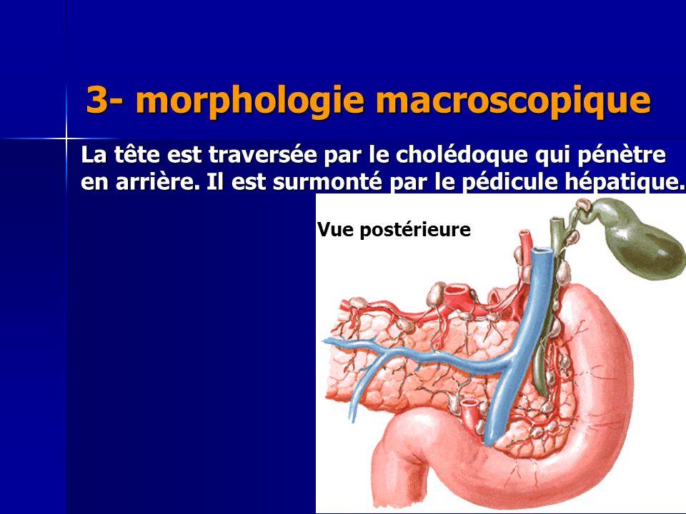 3- morphologie macroscopique