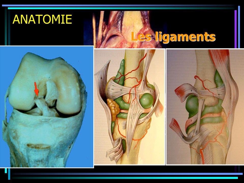 ANATOMIE Les ligaments