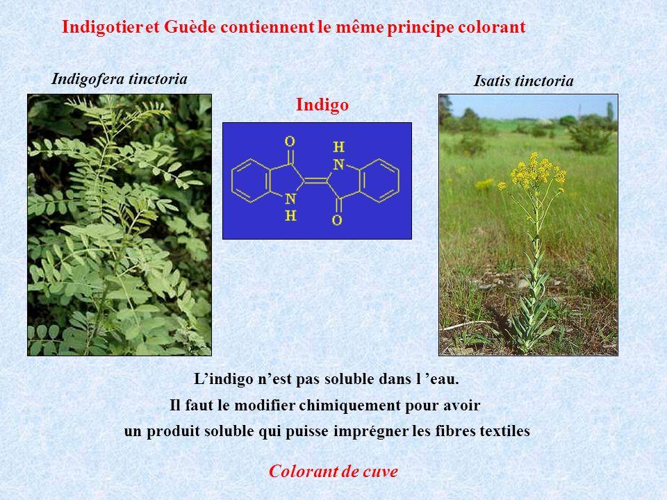 Indigotier et Guède contiennent le même principe colorant