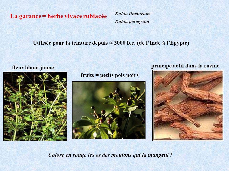La garance = herbe vivace rubiacée