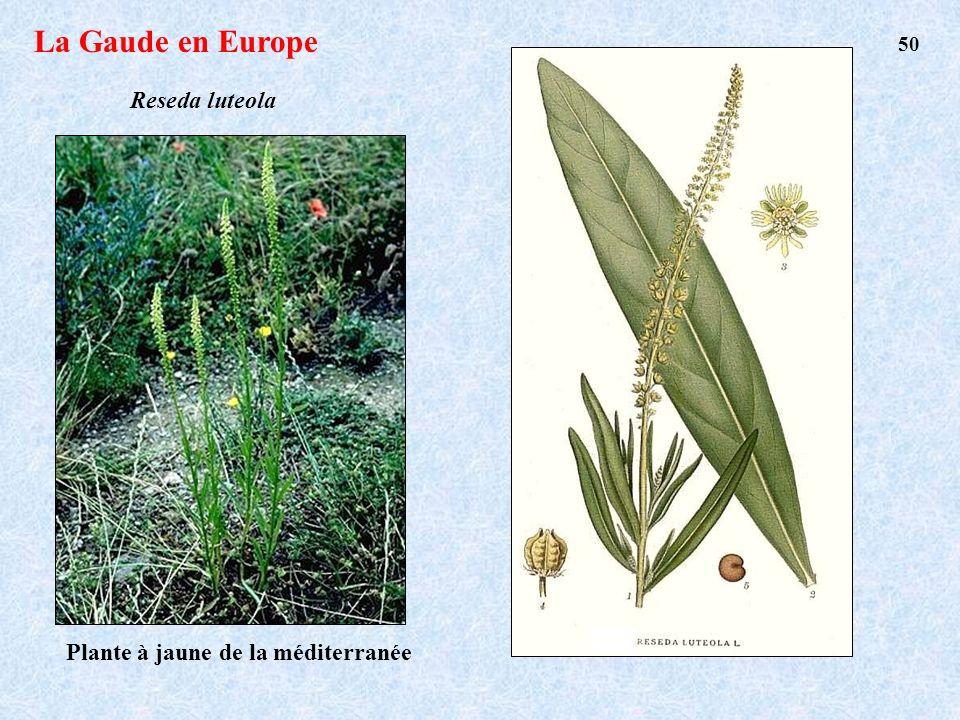 La Gaude en Europe 50 Reseda luteola Plante à jaune de la méditerranée