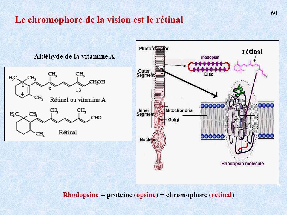 Le chromophore de la vision est le rétinal