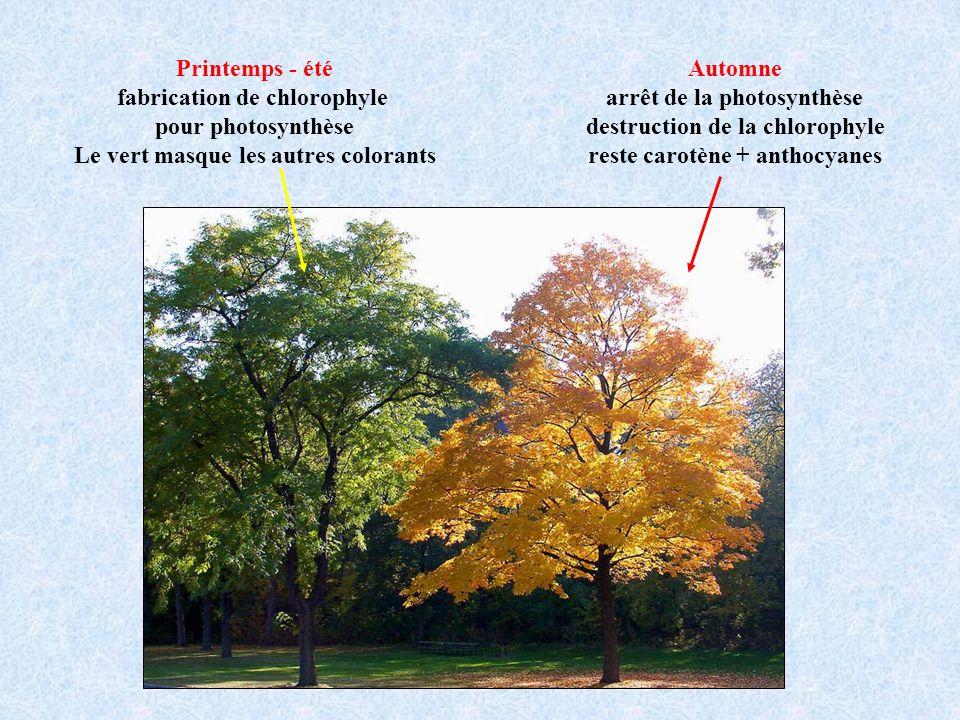 fabrication de chlorophyle pour photosynthèse