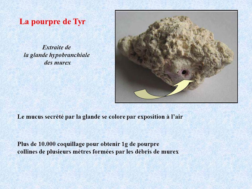 La pourpre de Tyr Extraite de la glande hypobranchiale des murex