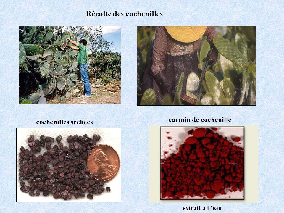 Récolte des cochenilles