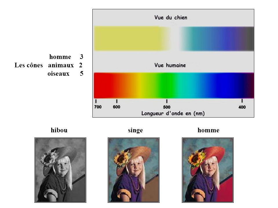 homme 3 Les cônes animaux 2 oiseaux 5 hibou singe homme