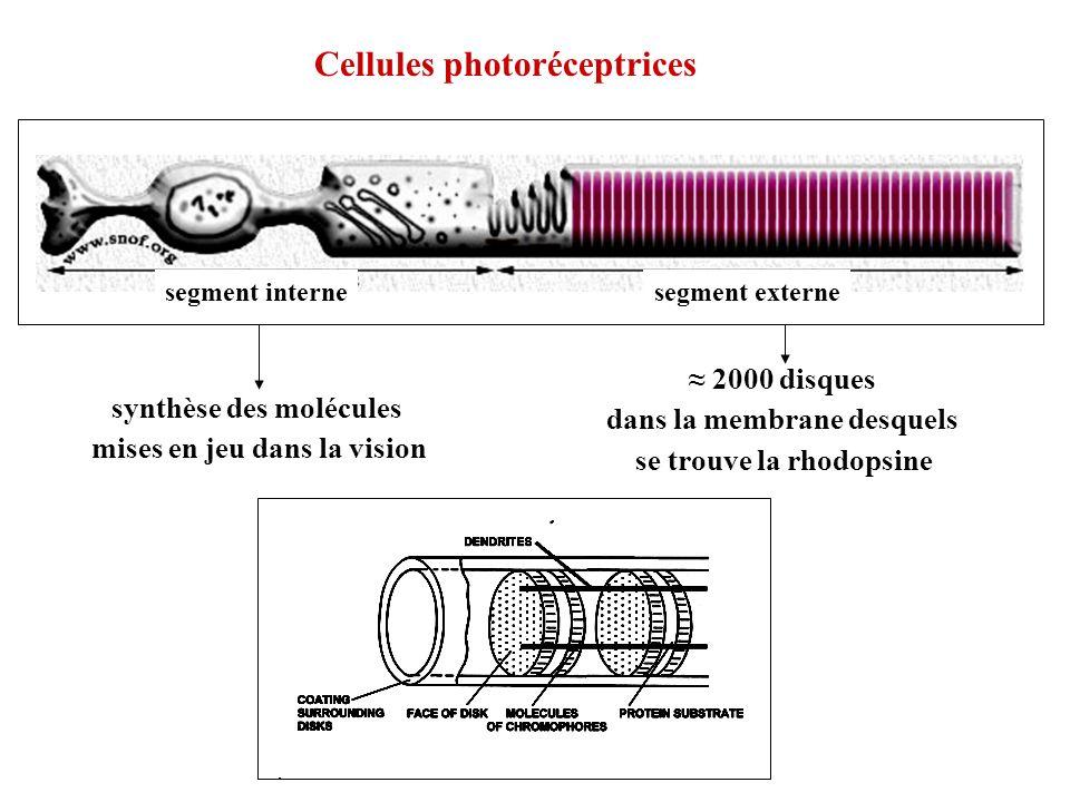 Cellules photoréceptrices