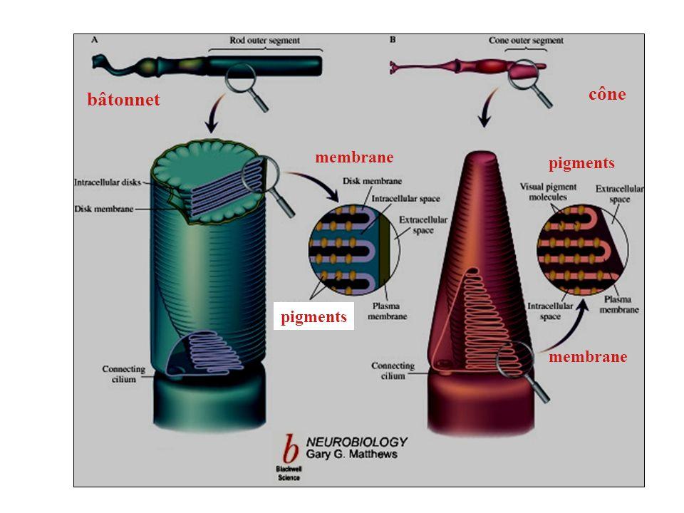 cône bâtonnet membrane pigments pigments membrane