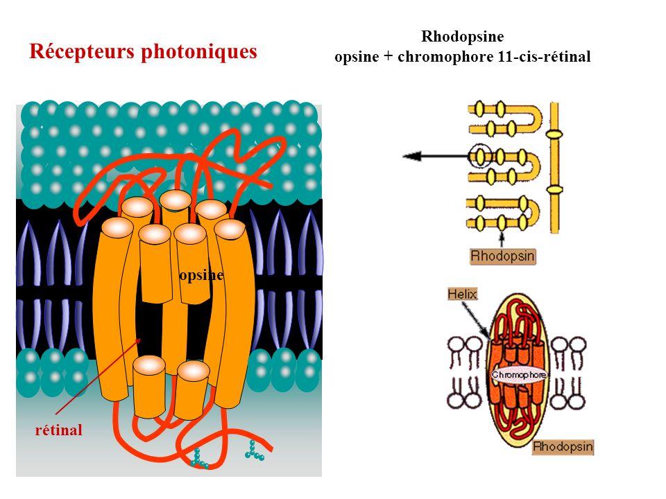 opsine + chromophore 11-cis-rétinal