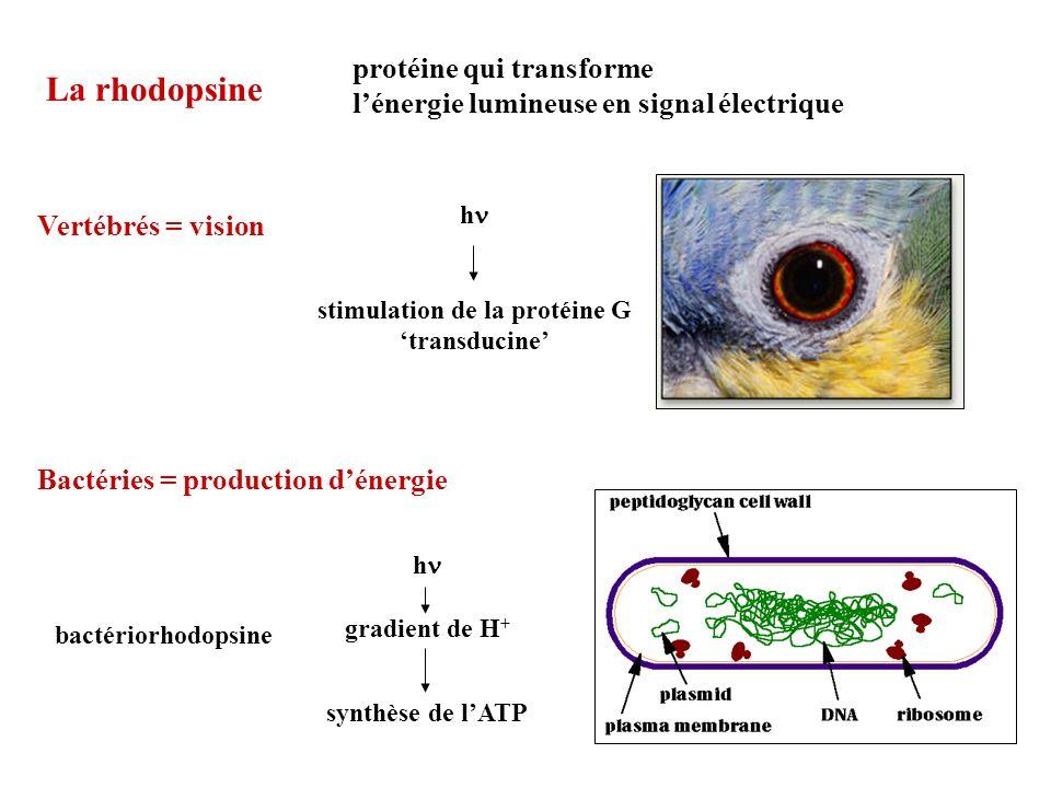 stimulation de la protéine G