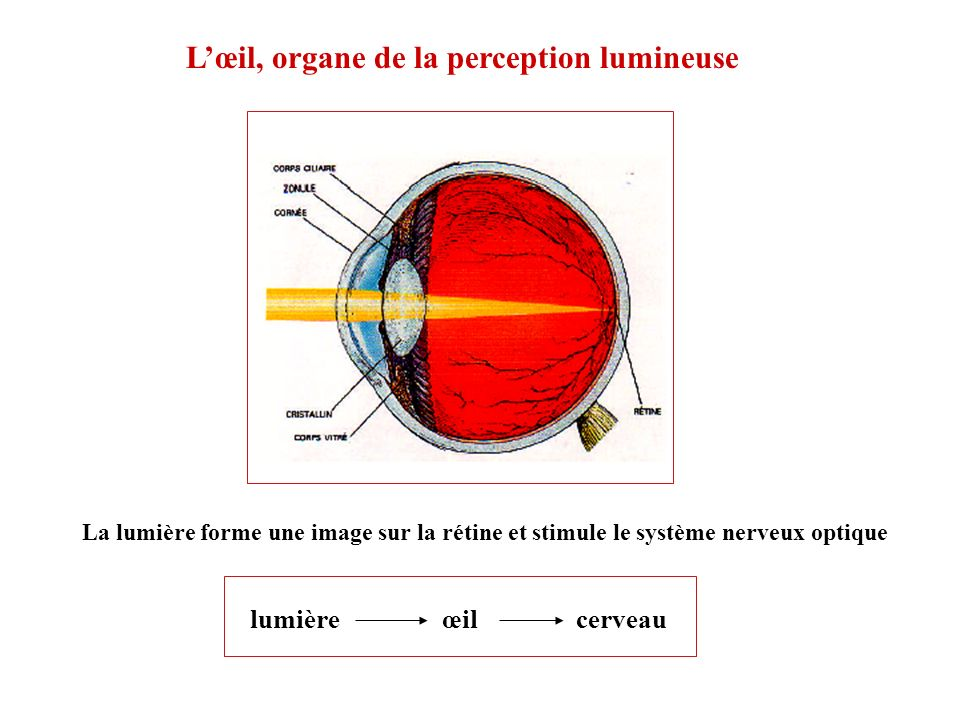 L'œil, organe de la perception lumineuse