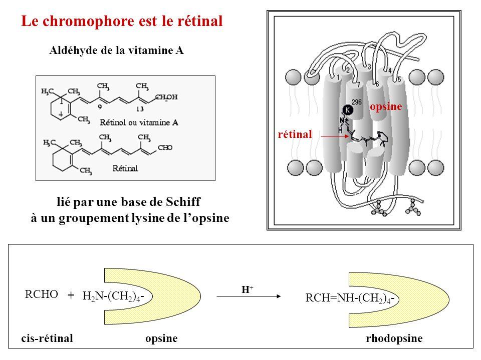lié par une base de Schiff à un groupement lysine de l'opsine
