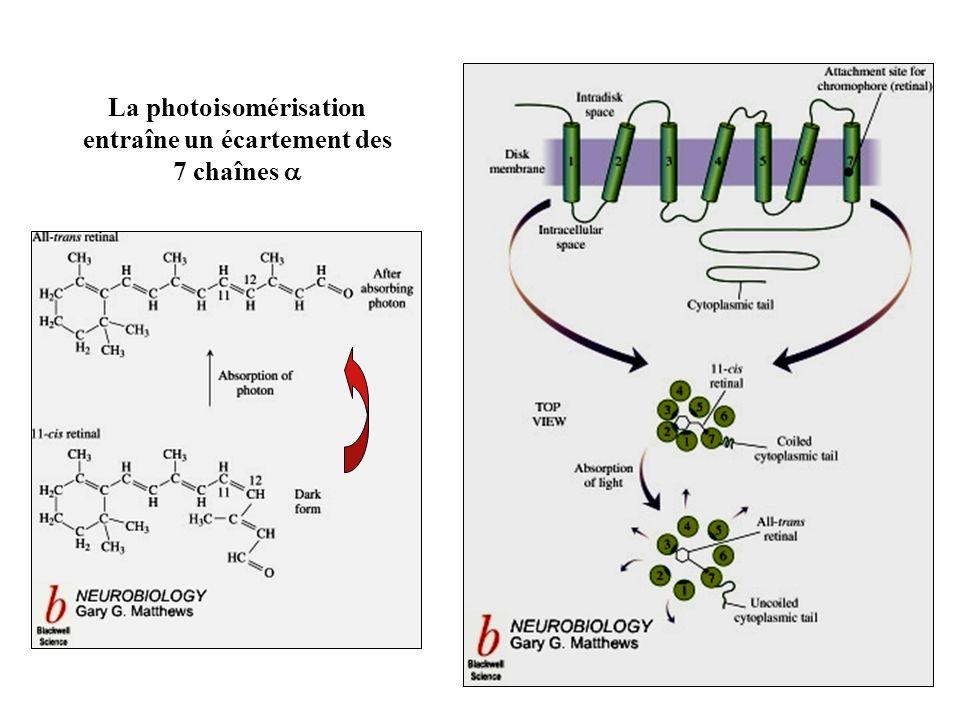 La photoisomérisation entraîne un écartement des