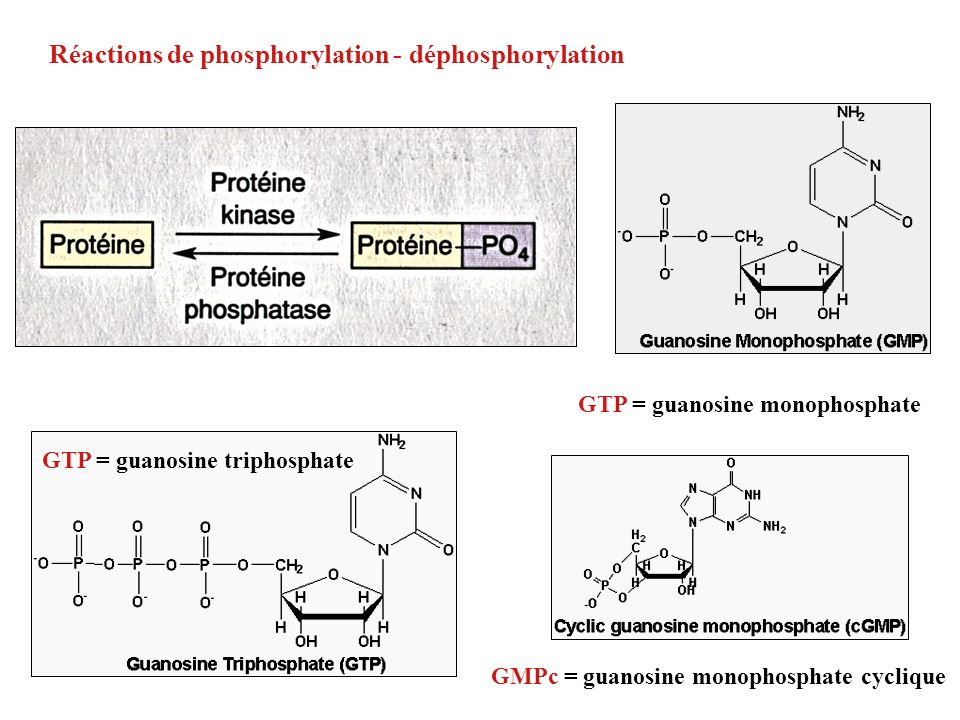 Réactions de phosphorylation - déphosphorylation