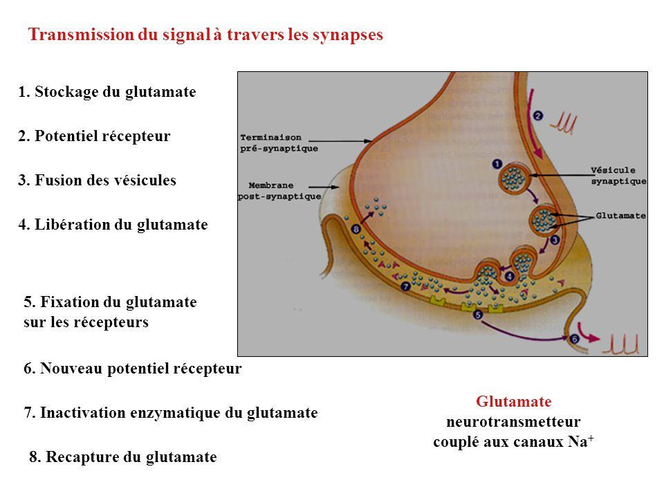 Transmission du signal à travers les synapses