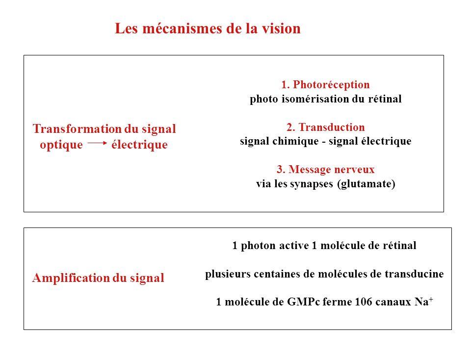 Les mécanismes de la vision