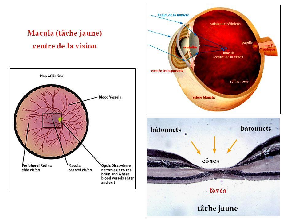 Macula (tâche jaune) centre de la vision