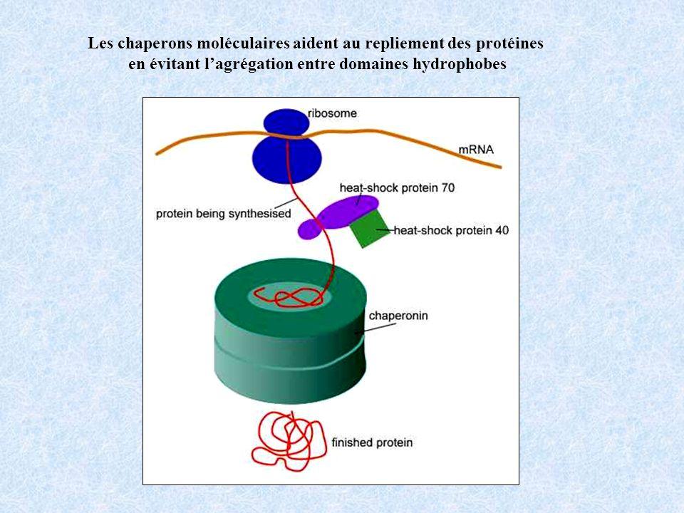 Les chaperons moléculaires aident au repliement des protéines