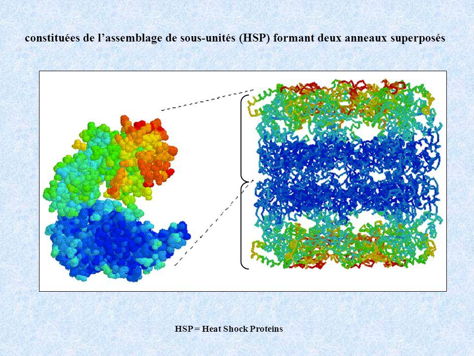 constituées de l'assemblage de sous-unités (HSP) formant deux anneaux superposés
