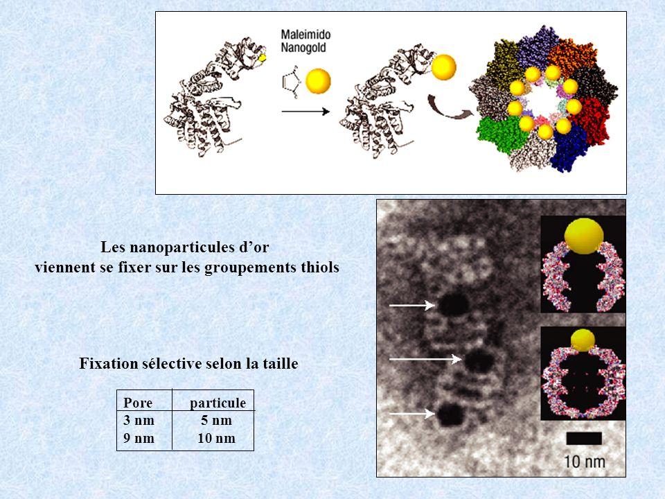Les nanoparticules d'or viennent se fixer sur les groupements thiols