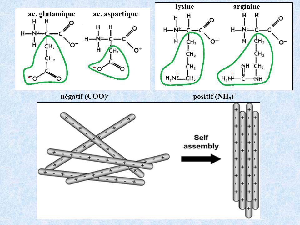 lysine arginine positif (NH3)+ ac. glutamique ac. aspartique