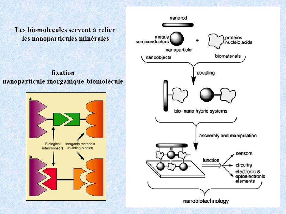 Les biomolécules servent à relier les nanoparticules minérales