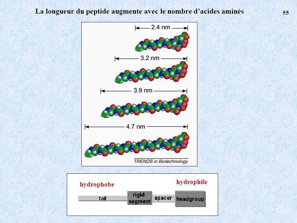 La longueur du peptide augmente avec le nombre d'acides aminés