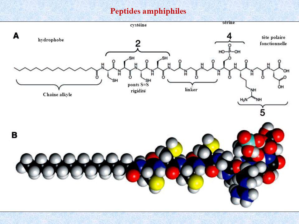 Peptides amphiphiles sérine cystéine tête polaire hydrophobe