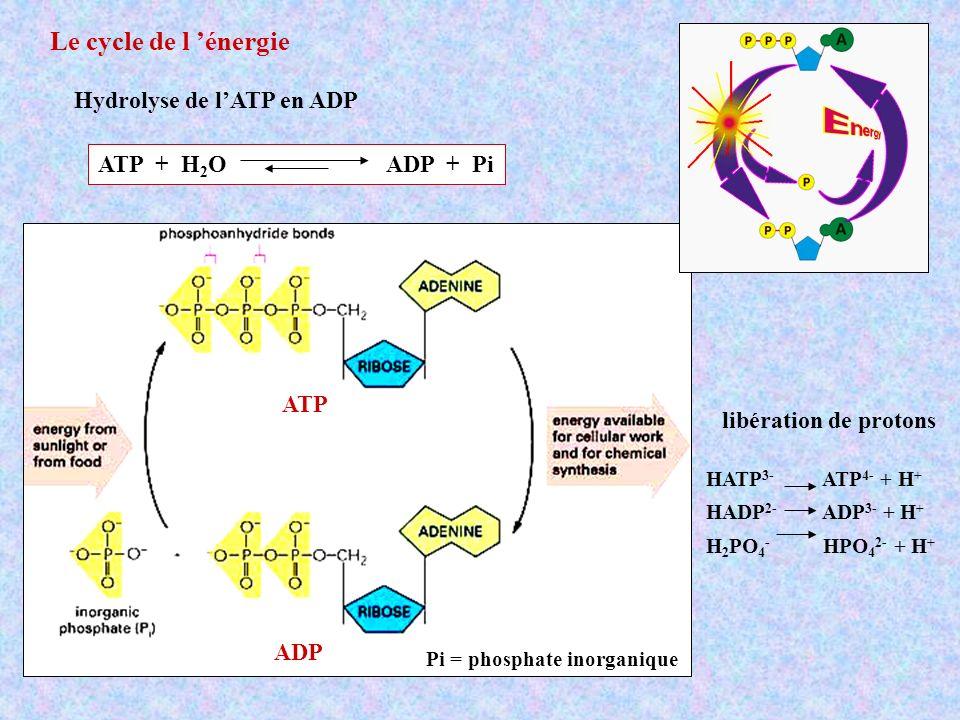 Le cycle de l 'énergie Hydrolyse de l'ATP en ADP ATP + H2O ADP + Pi